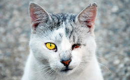Blind Cat. Portrait of blinded cat looking Royalty Free Stock Photo
