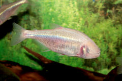 Blind cave mexican tetra aquarium fish Stock Photo