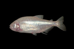 Blind cave mexican tetra aquarium fish Royalty Free Stock Images
