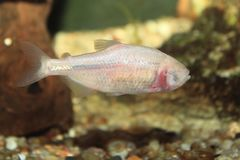 Blind cave tetra. Floating in water Stock Photo