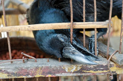 A blind crow is trying to break this hell cage. A blind crow is seeking its freedom. It is in bad condition and trying to break free by biting the wire cage Stock Images