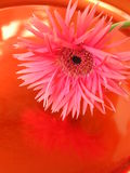 Blind date. Photograph of a single pink gerbera daisy reflected in the surface of a metallic red plate Stock Photo