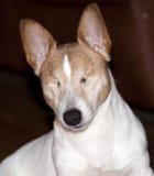 Blind dog Royalty Free Stock Image