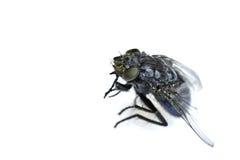 blind fluga royaltyfri bild