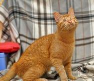 Blind ginger cat Stock Image