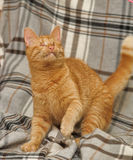 Blind ginger cat Royalty Free Stock Images