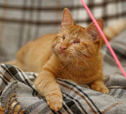 Blind ginger cat Royalty Free Stock Photo