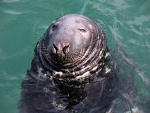 Blind grey seal is waiting for fish. Stock Image