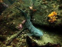 Blind haj Fotografering för Bildbyråer