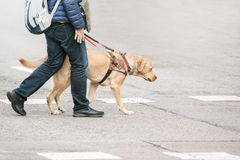 Blind man with a guide dog walking through a pedestrian cross in the city. Empty copy space stock photography