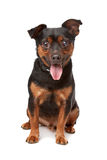 Blind mixed breed dog. In front of a white background Stock Photography