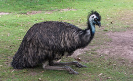 A blind ostrich Royalty Free Stock Images