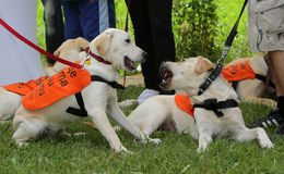 Blind people with their Golder retriever guide dogs Stock Image
