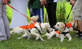 Blind people with their Golder retriever guide dogs Stock Images