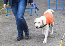 Blind person with her guide dog Stock Photos