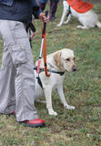 Blind person walking with her guide dog Stock Photography