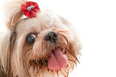 Blind Pet Royalty Free Stock Images