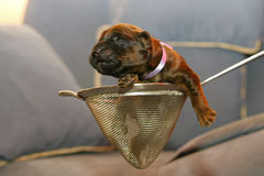Blind puppy Royalty Free Stock Photo