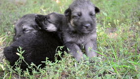 Blind puppy drie in het gras stock videobeelden
