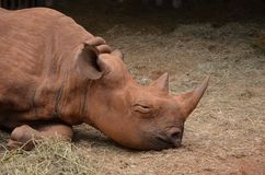 Blind Rhino Royalty Free Stock Photo