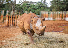 Blind rhinoceros. This blind rhinoceros was shut by poachers. He is now protected in a care centre near Nairobi in Kenya Royalty Free Stock Photos