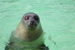 Blind Seal - 01 Stock Photography