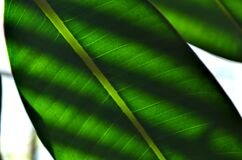 Blind Shade Leaves Stock Images