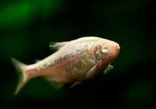 Blind Tetra grottafisk eller mexikan Arkivfoto