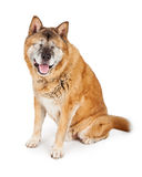Blinde Akita Dog Isolated auf Weiß Lizenzfreie Stockfotografie
