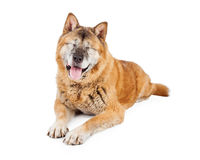 Blinde Akita Dog Laying Stockfotos
