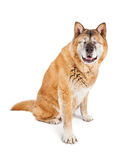Blinde Akita Dog Sitting Lizenzfreie Stockfotografie