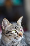 Blinde blutrote getigerte Katze Stockfotos