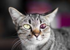 Blinde blutrote getigerte Katze Lizenzfreie Stockfotos