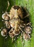 Insecto del escudo Foto de archivo libre de regalías
