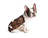 Blinde französische Bulldogge, die zur Seite sitzt Stockbild