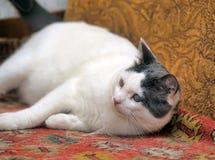 Blinde Katze Lizenzfreie Stockfotografie