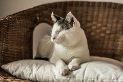 Blinde Katze, die auf geflochtenem Stuhl liegt Lizenzfreie Stockbilder