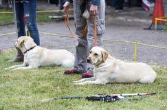 Blinde mit ihren Blindenhunden Stockbilder