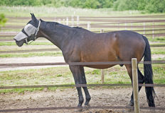 Blinded Horse Royalty Free Stock Photos