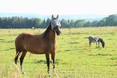 Blinded horse and eating donkey Royalty Free Stock Photo