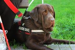 Blindenhund Stockbild