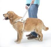 Blindenhund auf Weiß Stockbilder