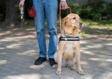 Blindenhund hilft einem blinden Mann Stockbilder