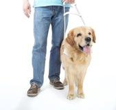 Blindenhund lokalisiert auf Weiß Stockfotografie