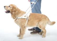 Blindenhund lokalisiert auf Weiß Stockfoto
