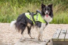 Blindenhund mit einer Schleppseilegge Lizenzfreie Stockbilder