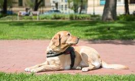 Blindenhund steht im Park still Stockfoto