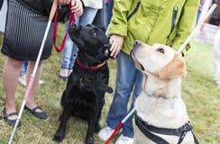 Blindenhunde Lizenzfreies Stockfoto