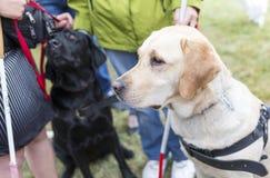 Blindenhunde Lizenzfreie Stockbilder