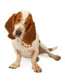 Blinder Basset Hound-Hund Stockfotografie